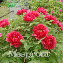 Peony Seeds Potted Paeonia Suffruticosa Seeds Peony Flower 16 Colors Variety Complete 100% Fresh Real Seed 10 pcs / Bag(China)