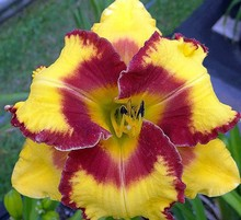 2016 Special Offer Direct Selling Sementes Hybrid Mix Daylily Flowers Seed, Rare Unique Hemerocallis Seeds - Day Seed Packet