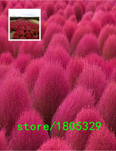 Garden Plant Free Shipping Bassia Scoparia Seeds 500 Pieces Per Bag of grass Plants Seeds Bonsai Seed