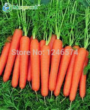 300 /bag Five inches ginseng carrot seeds, carrot seed, potted fruit vegetable seeds for home garden planting sementes(China)