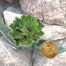 New Hot Practical Live Resurrection Plant Rose Of Jericho Dinosaur Plant Air Fern Spike Moss #61285