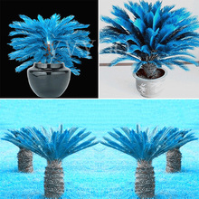 1PCS mini blue Sago Cycas Seeds revoluta seeds bonsai tree seeds Potted Flower Seed for DIY Home Garden Household Items