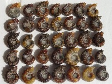 35 New Find NATURAL Cretaceous AMMONITE FOSSIL SPECIMEN 415g(China)