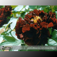 Rare 'Guan Shi Mo Yu' Coffee Peony Tree Flower Seeds, Professional Pack, 5 Seeds / Pack, Strong Fragrant E3367