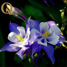 2017 beautiful flower seed blue bird balcony Aquilegia seed plants potted flower family balcony