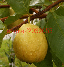 pear seeds 20 Florida Tropical White/Yellow Pear Guava Fruit Tree perennial flower pots planters(China)