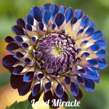 50 SEEDS Rare Blue Purple Fireball Dahlia Flower Seeds Perennial Plant Dahlia Seeds for Garden Flower Seedlings Bonsai Plant