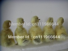 Taxidermy of 5 Real decorative duck yellow duckling supplies,Cute,Stuff Bird GOOD QUALITY,Decoys Garden Ornaments toys(China)