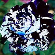 Legendary Natural Plant Seeds 200PC Authentic Chinese Black + White Blue Rose Points  2017