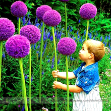 Heirloom Allium Giganteum Giant Onion with Purple Flower Seeds, Professional Pack, 50 Seeds / Pack, Interesting for Kids #NF939