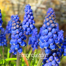 100 Pcs/Lot Lowest Price!Blue Violet Purple Grape Hyacinth flower Seeds Garden decoration leader Potted plant seeds(China)