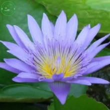 bonsai BLUE LOTUS SEEDS Nymphaea Caerulea Asian Water Lily Pad Flower Pond Seeds garden decoration plant free shipping 10pcs F13(China)
