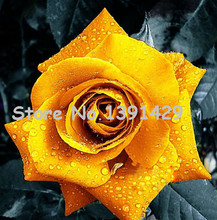"11.11 On Sale!!! Bonsai Flower Rose Seeds Really Rare ""Golden Rose"" Home Gardening Flower Seeds 120 PCS + Mystery Gift"