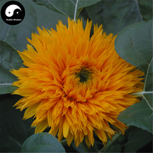 Buy Helianthus Annuus Flower Seeds 50pcs Plant Chinese Sunflower Helianthus(China)