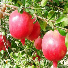 Bonsai pomegranate Seeds 30pcs 10kinds mix fruit Seeds Novel Plant for Garden Free Shipping