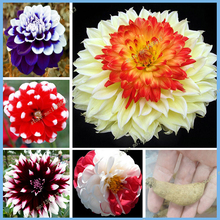 100% of dahlia bulb charming Chinese flowers bonsai plants seed germination rate 95% DIY indoor potted plants you're worth it