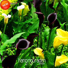 New Seeds 2017!100 pcs/Pack Rare Calla Lily Seeds,Rhizomes High Survival Rate Calla Lily Flower Seeds, 18 Colors,#ZEUZ02