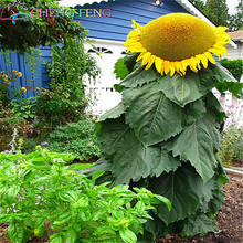 "10 Skyscraper ""8 Feet Tall"" Sunflower Seeds Easy To Grow Annual Giant Novel Blooming Plants Home Garden * Seed Free Shipping(China)"