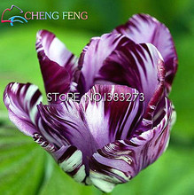 2016 rare purple tulip petals tulip seeds potted indoor and outdoor potted plants purify the air 100 seeds