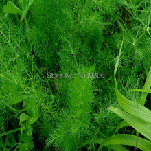 Vegetable seed spice cumin seed sweet sweet dish balcony potted planting garden