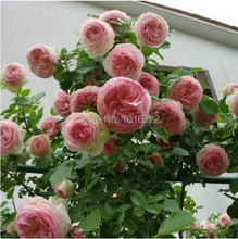 RARE FULL-PETALLED PINK CLIMBING ROSE * 200 SEEDS WIHT PROFESSIONAL PACKING * GREAT FLOWERS FOR GARDEN * FREE SHIPPING PLUS GIFT(China)
