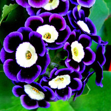New Arrival 500pcs Rare Phantom Petunia Flower Seeds Garden Bonsai Seeds Petunia Seeds