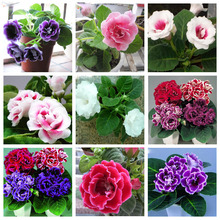 120 pcs Hot Sale 10 Colors Can Be Choose Gloxinia Seeds Perennial Flowering Plants Sinningia Speciosa Bonsai Balcony Flower