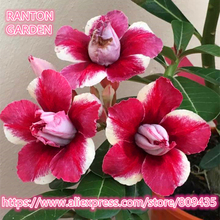 "New arrive professional package 5 PCS ""Red Rose"" Adenium Obesum seeds quality Rare Desert Rose seed Bonsai flower Seeds"