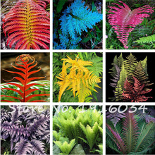 100Pcs Colorful Fern Seeds Rare Creeper Vines Grass Mixed Foliage Plants Bonsai Exotic Plant for Flower Pots Planters hot sale(China)