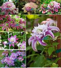 free ship 40seeds   multi-colored clematis seeds, real rare clematis plant seeds, Bonsai clematis bulbs wire lotus plant,