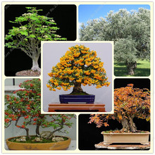 Exotic Seeds Ash Bonsai Tree Seeds Ash Planten Orquideas Para Plantar DIY Perennial Flowers Garden 20 Pcs