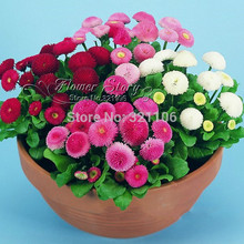 Free Shipping 20 English Daisy seeds - Bellis perennis flower Great for early spring color Needs Good Drainage