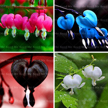 100PCS Heart Flower Seeds Dicentra spectabilis Sweet Heart Wallet Peony Flowers For garden plant Rare Shade Perennial flower