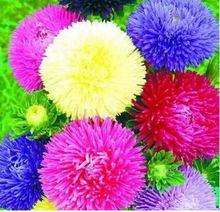 1 bag (50 Seeds) ,Golf China aster chrysanthemum Flower seeds, Bonsai Seeds,Strong ability to reproduce(China)