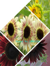 "GGG 50 feet tall"" Sunflower Seeds ,Easy to grow home garden free shipping flower seeds(China)"