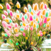 2016 New Color Mixing Ga 100 Pcs/bag Rabbit Tail Grass Seeds Bonsai Ornamental Garden Potted Plants Flowers Light Up Your Manor
