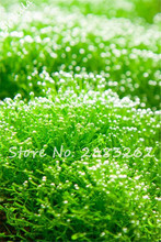 Sell Well!Indoor Ornamental Dwarf Pearl Moss Grass Water Aquatic Plant Seeds, Aquarium Grass Seeds Home Garden Decorative 200pcs(China)