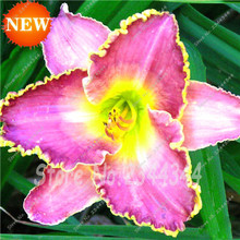 Hybrid Mix Black Daylily Flowers Seed, Rare Colour Hybrid Hemerocallis Seeds - New Day Lily Seed 120 pcs