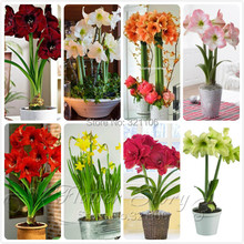2 pcs/bag,Hippeastrum seeds  Amaryllis bulbs flower seeds, large showy flowers Barbados Lily potted home garden plant