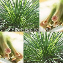 200 EAST INDIA C. flexuosus ~ LEMON GRASS LEMONGRASS SEEDS ~Used fresh or dried(China)