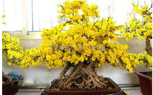 Free shipping, Chinese bonsai wintersweet  yellow flowers bloom, beautiful tree flowering plants a packet of 10 seeds