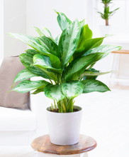 100pcs High Quality Aglaonema spp Sansevieria Seeds Indoor Plants Radiation Protection Bonsai Seeds Home Garden(China)