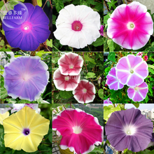 BELLFARM Japan Morning Glory Hybrid Seeds, 20 seeds, professional pack, big blooms easy to grow climbing plants flowers(China)