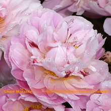 Rare Tri-color Purple Pink Yellow Chinese Peony Bonsai Tree Peony Seeds, 5 Seeds, beautiful graden flowers seed-Land Miracle