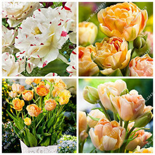 Berserk Special Promotion! 50 Pcs High-Grade Tulip Flower Seeds Balcony Pot Most Beautiful * Colorful Plants Seed ( Not Bulbs)
