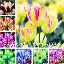 Hot Sale 100Pcs Rare Color Tulip Seeds Aromatic Flower Seeds Potted Plants Most Beautiful Colorful Tulip Plants Perennial Garden