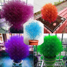 300 pcs/bag 5 color bonsai kochia burning bush kochia scoparia,grass seeds,flower seeds,outdoor plant for home garden planting