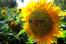 20 pcs giant sunflower seeds giant big flower seeds black sunflower russian sunflower seeds for home garden