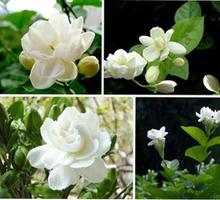 20 lot Jasmine Potted Plant - The Balcony Of The Four Seasons Can Broadcast Hua  Balcony Flowers Seed Indoor Plant Seeds