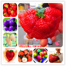 100pcs Milk Strawberry Seeds Super Giant strawberries seeds Fruit seed NON-GMO Very Sweet Juicy Bonsai Home & Garden
